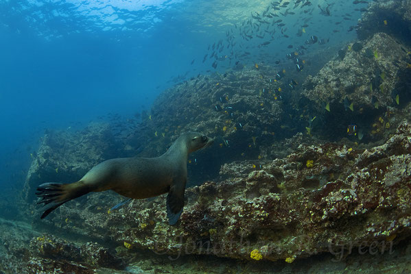 Galapagos Shark Diving - Seal under water at Galapagos Islands