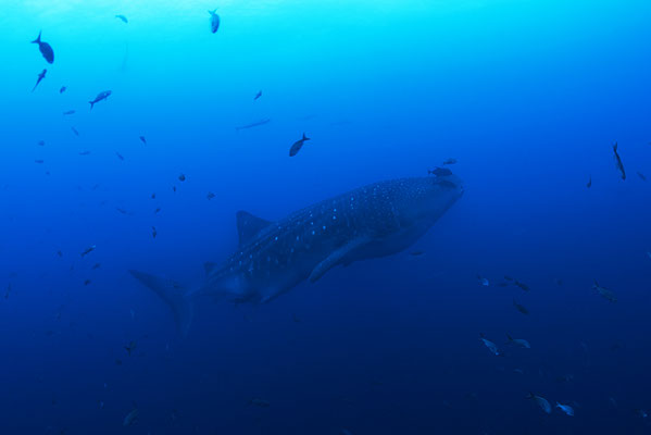 Galapagos Shark Diving - Whale Shark Galapagos Islands Dive expedition