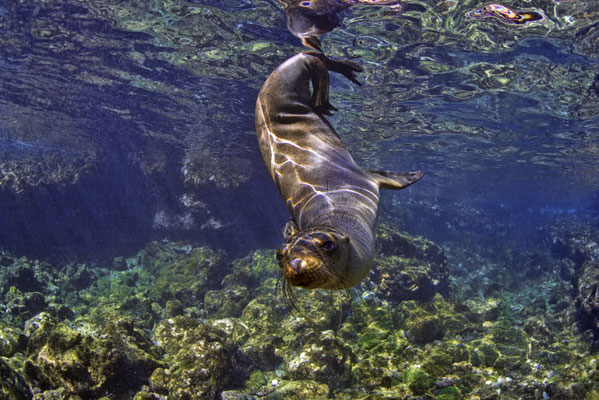 Galapagos sea lion playing with the diver under water, ©Galapagos Shark Diving