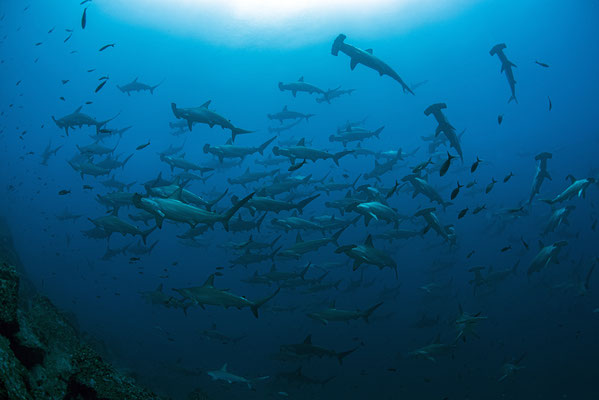 Huge school of hammerhead sharks in Cocos Island, ©Galapagos Shark Diving