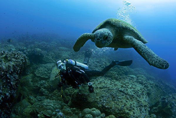 Galapagos Shark Diving - Turtle and Diver at Galapagos Islands