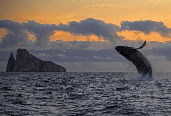 Galapagos Shark Diving - Wal springt aus dem Wasser