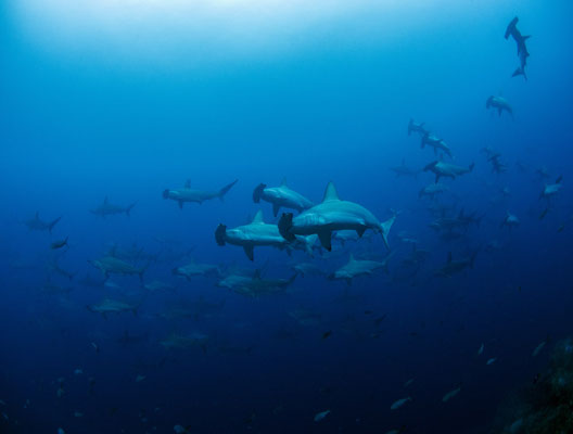 Galapagos Shark Diving - Hammerhai Schule