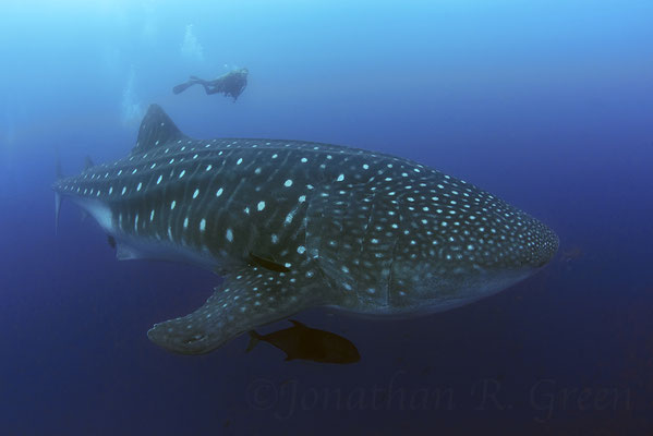 Galapagos Shark Diving - Whale shark close to surface