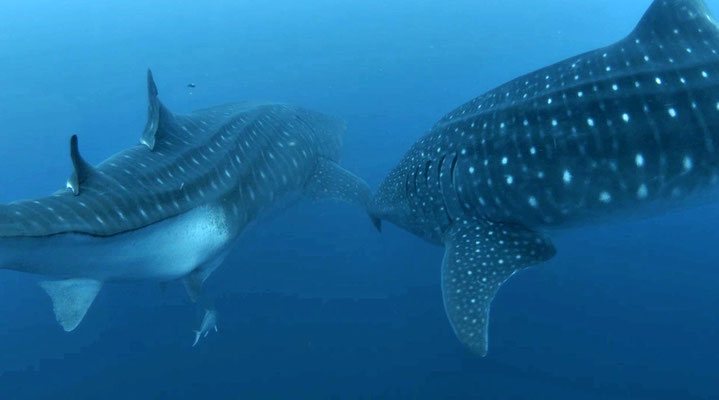 Galapagos Shark Diving - Two Whale Sharks at Galapagos Islands