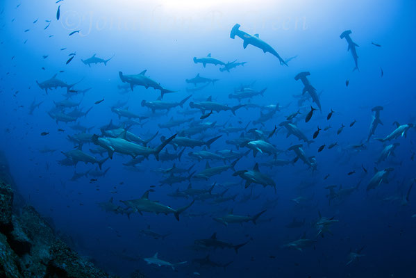 Encounter with a school of hammerhead sharks, ©Galapagos Shark Diving