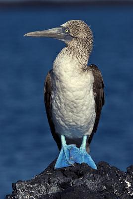 Galapagos Shark Diving - Blaufußtölpel Galapagos Inseln