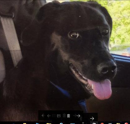 Vitrail d'un chien golden noir a partir d'une photo pour un client