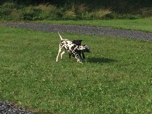 Tobende Hunde in der Spielstunde in Oldenburg