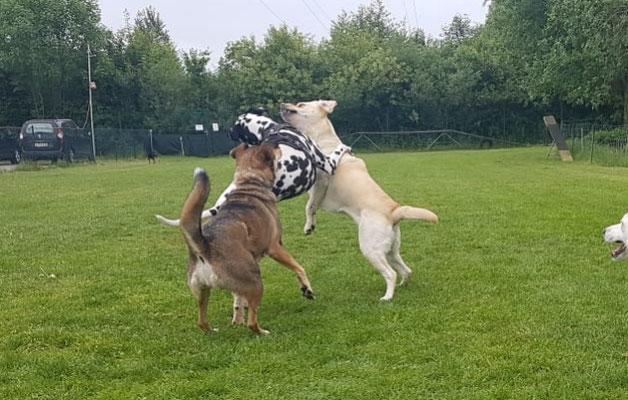 Die Hunde treffen ost zusammen und bilden zum Teilstabile Beziehungen