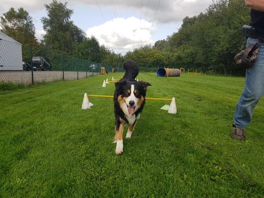 Springen über Agility Hindernisse macht den Hunden Spass.