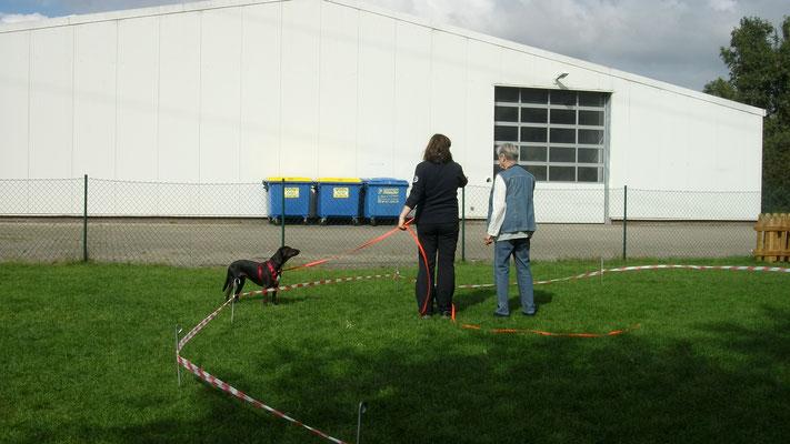 Der Hund hält beim Longieren immer den Kontakt zum Menschen.