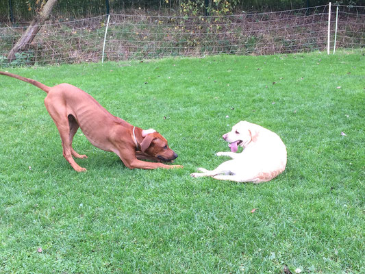 ein Junghund macht einer gestandenen Hündin den Hof