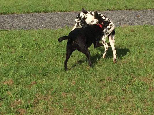 Ausgelassenes Spiel zweier Hunde.