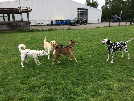 die Hunde spielen und lernen sich angemessen untereinander zu verhalten