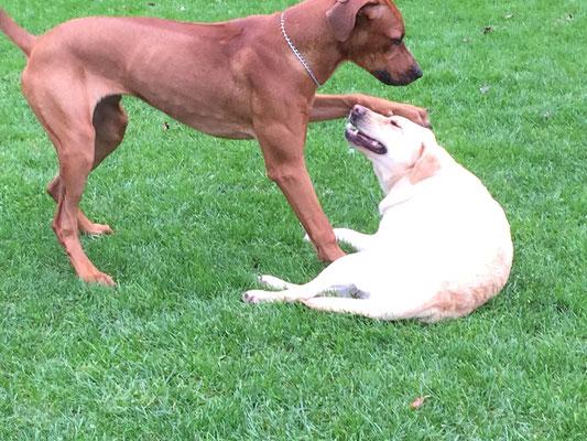 In der Spielstunde können auch die pubertierenden Hunde ihre sozialen Fertigkeiten üben.