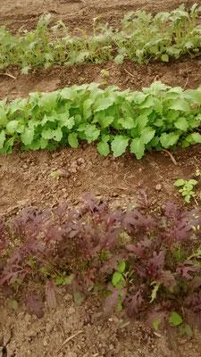 ...hinter ihm steht der ASIA Salat