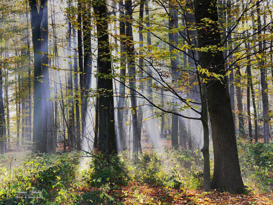 Morgensonne im Buchenwald (Leopoldshöhe, Kreis Lippe, OWL)