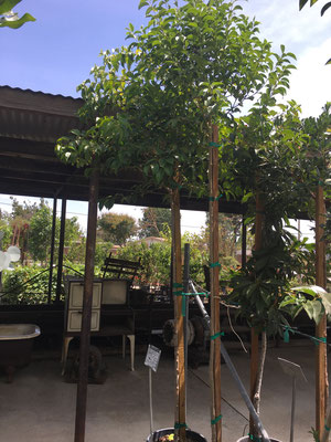 Japanese Privet Tree, 15 gallon size