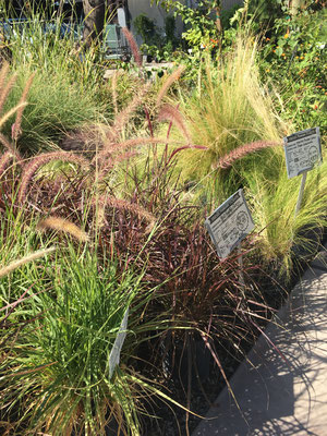 Red Fountain Grass and Mexican Feather Grass