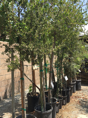 Evergreen oak trees in 15 gallon size in the foreground
