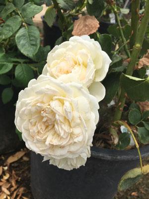 Bolero rose