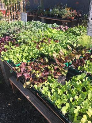 Assorted 6 packs of lettuce