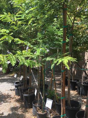 Trees - Cagliero Ranch Nursery