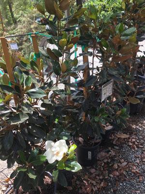 Dwarf Southern Magnolia, 5 gallon size