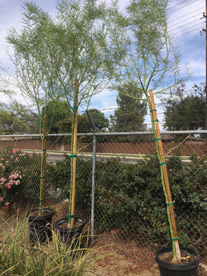 Desert Museum Palo Verdes, single trunk in 15 gallon size