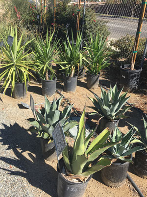Agave 'Century Plant' in the foreground