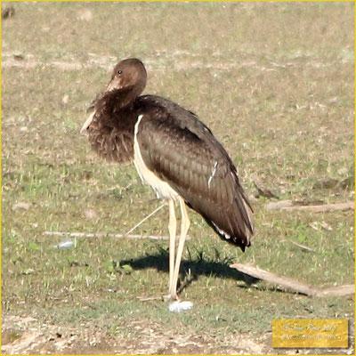 Black Stork - Cegonha-preta - Ciconia nigra