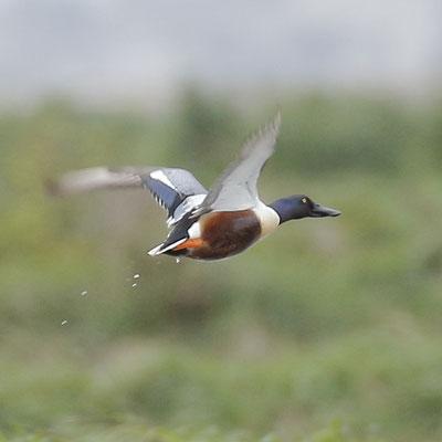 Northern Shoveler - Pato-colhereiro - Anas clypeata
