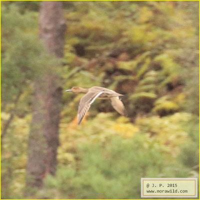 Northern Pintail - Arrabio - Anas acuta
