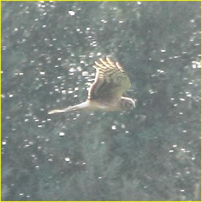 Northern Harrier - Tartaranhão cinzento - Circus Cyaenus