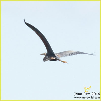 Purple Heron - Garça-vermelha - Ardea purpurea