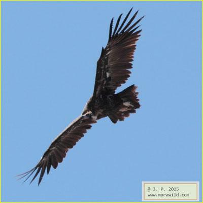Black Vulture - Abutre preto - Aegypius monachus