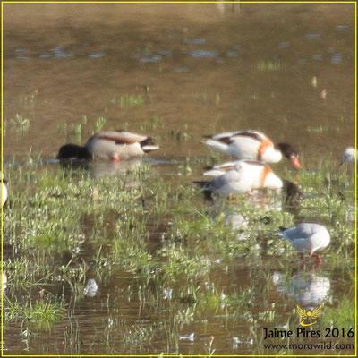Common Shelduck - Tadorna -  Tadorna tadorna