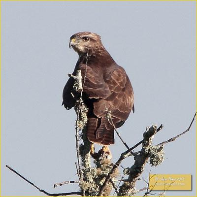 Common Buzzard - Águia d'asa-redonda - Buteo buteo