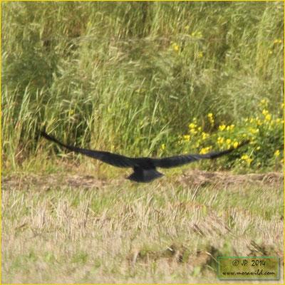 Common Raven - Corvo - Corvus corax