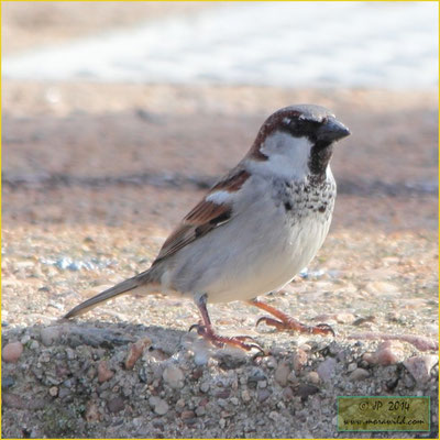 House Sparrow - Pardal do telhado - Passer domesticus