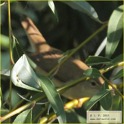 Eurasian reed warbler - Rouxinol pequeno dos caniços - Acrocephalus scirpaceus