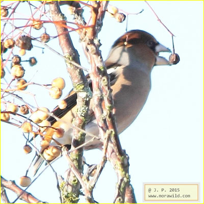Hawfinch - Bico grossudo - Coccothraustes coccothraustes