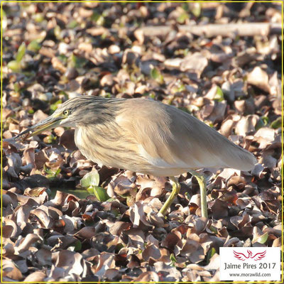 Squacco Heron - Papa ratos - Ardeola ralloides