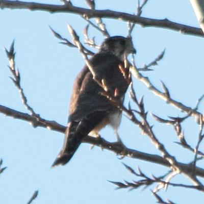 Merlin - Esmerilhão - Falco columbarius