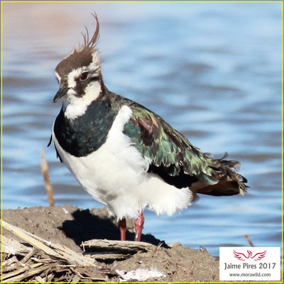 Northern Lapwing - Abibe - Vanellus vanellus