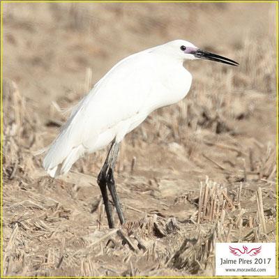 Little Egret - Garça branca pequena - Egretta garzetta