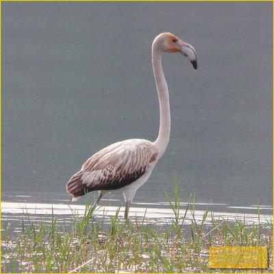 Greather Flamingo - Flamingos - Phoenicopterus roseus