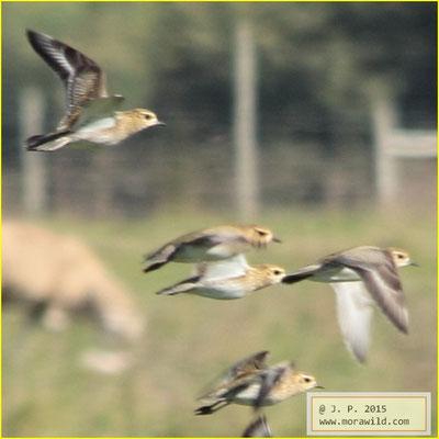 European Golden-Plover - Tarambola dourada - Pluvialis apricaria