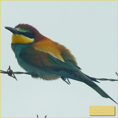 Bee eater - Abelharucos - Merops apiaster